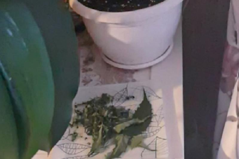 Выращивание срок за конопли ялта конопля